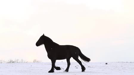 égua : Friesian horse runs gallop in snow