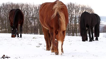 friesian : Horses grazing on winter