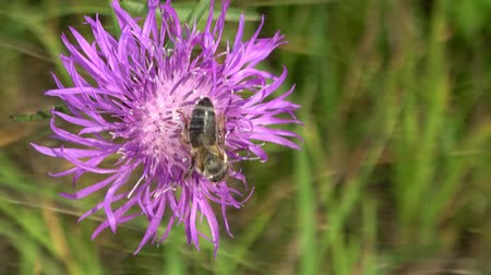 devedikeni : Close-up of a bee perched on a freshly bloomed flower Stok Video