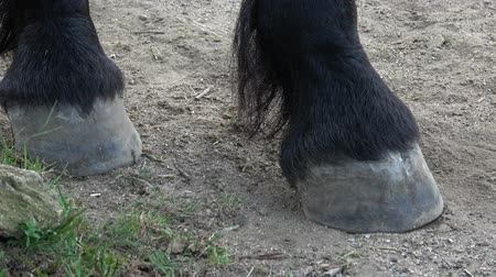 friesian : Horses hoof on the ground. Close up of horse hooves on the sand. Friesian horse and legs on the ground. Stock Footage