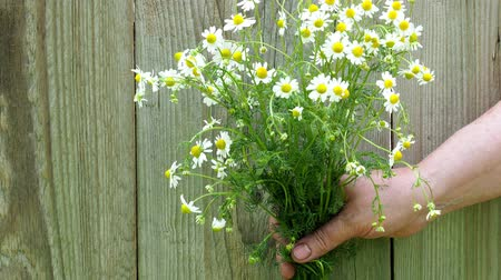 camomile : Healthy herbs. Human hand holding fresh Matricaria recutita chamomilla from the garden. Stock Footage