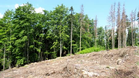 forest destruction : Road through dead trees. European spruce bark attacked trees in the forest.
