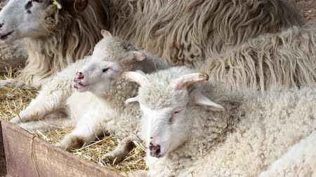 ewe : Sheep herd chew hay lying on dry grass in sheepfold, young ram sleeping in ranch. Wallachian sheep. Stock Footage