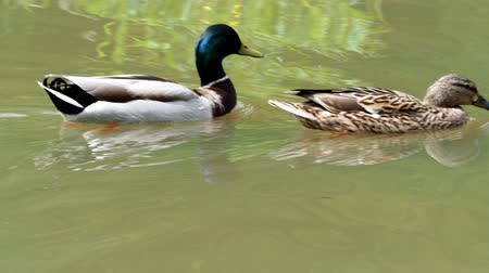 anas platyrhynchos : Ducks swimming on spring lake. Male and female ducks on water.