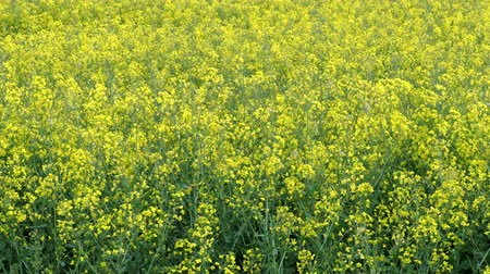 oleaginosa : Rapeseed field (Brassica napus). Plant for vegetable oil, green energy and biodiesel.
