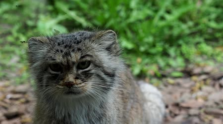 gato selvagem : Portrait of beautiful cat (Otocolobus manul)