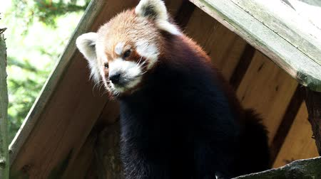 lesser : Portrait of a red panda (Ailurus fulgens)