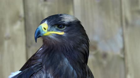 beak : The steppe eagle is a bird of prey. (Aquila rapax)