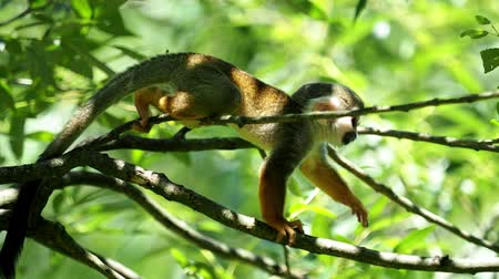 wiewiórka : Common squirrel monkey (Saimiri sciureus) on tree in the nature. Wildlife animals.