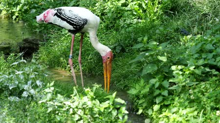 bocian : Painted stork (Mycteria leucocephala) catch the fish. Painted stork (Mycteria leucocephala) catches fish in the creek. Natural theme.