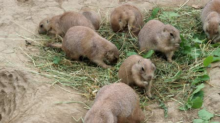 squirrel fur : Prairie dogs (Cynomys ludovicianus) sit and nibble the leaves from twigs