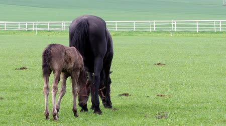 Богемия : Black kladrubian horse, mare with foal