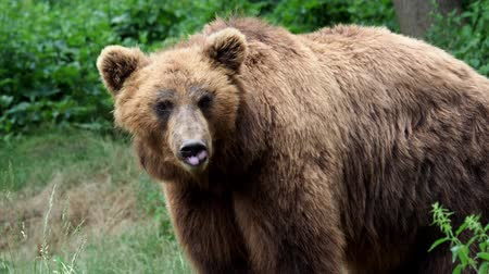 alaszka : Portrait of brown bear (Ursus arctos beringianus). Kamchatka brown bear.