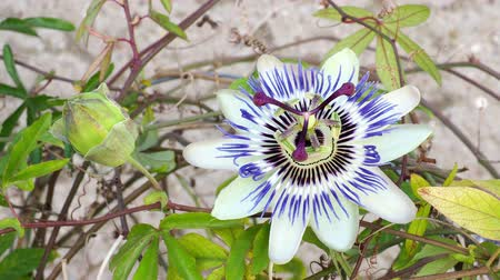 estigma : Blooming blue Passion Flower. Beautiful Passiflora Caerulea also known as Passion Flower
