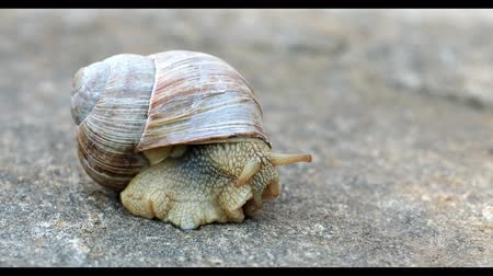 balçık : Big brown garden snail on stone background