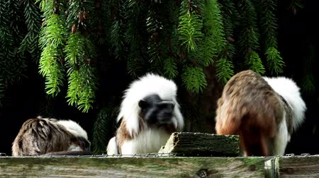 colômbia : Cotton-top tamarin (Saguinus oedipus) little monkeys