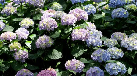 hortênsia : Blue and pink flowers of hydrangea. Hydrangea macrophylla - Beautiful bush of hydrangea flowers in a garden