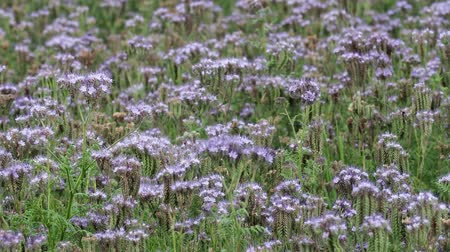 lacy : Phacelia plant field. Lacy Phacelia Tanacetifolia or blue tansy or purple tansy, good insectary plant,attracting pollinators such as honey bees or bumblebeee. 4k resolution