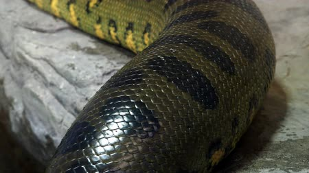 cobra : Green anaconda (Eunectes murinus). Big anaconda.