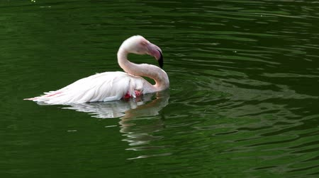 greater : Pink flamingo (Phoenicopterus roseus) bathing
