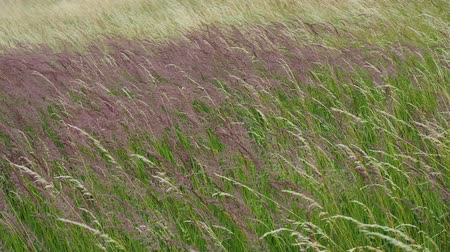 allergen : Blooming grasses in a meadow. Wind on the grass.