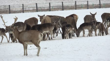 agancs : A large herd of European red deer and fallow deer on the feeding platform in winter. Stock mozgókép