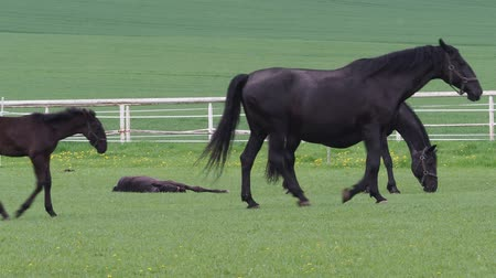 galope : Black kladrubian horse, mare with foal