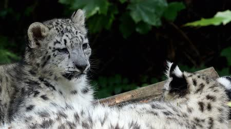 yaban kedisi : Snow leopard cub (Panthera uncia). Young snow leopard. Stok Video
