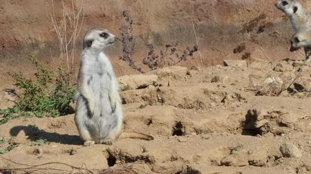 Suricata standing on a guard. Curious meerkat (Suricata suricatta). Stok Video