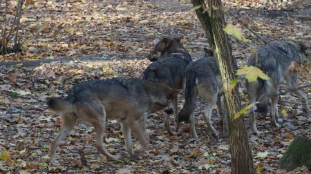 European gray wolves (Canis lupus lupus) is running in the forest. Pack of wolves. Stok Video