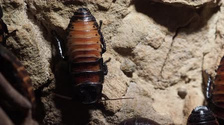 madagaskar : Cockroach sitting on a stone surface (Gromphadorhina portentosa)