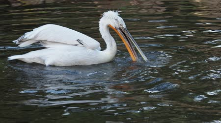 Dalmatian pelican floating on water (Pelecanus crispus) Stok Video