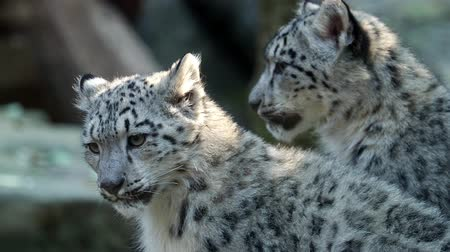 panter : Kitten of snow leopard - Irbis (Panthera uncia) watches the neighborhood.