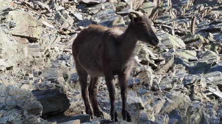 Himalayan tahr (Hemitragus jemlahicus) on the rock.