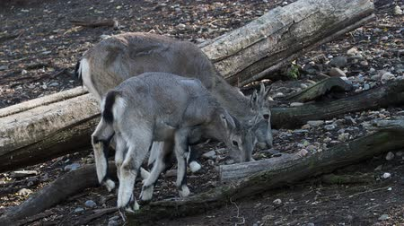 bhutan : Bharal or Himalayan blue sheep or naur (Pseudois nayaur)