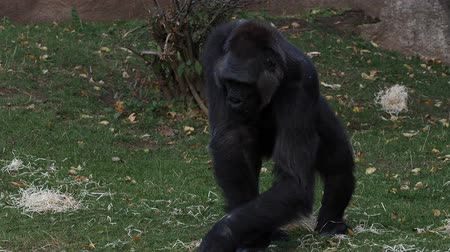 Western gorilla eating leaves on grass