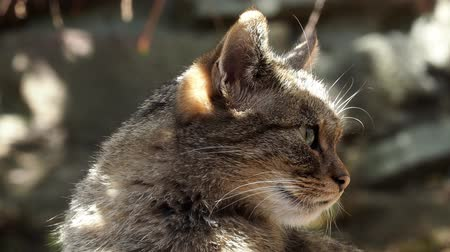 Gatto selvatico europeo (Felis silvestris)