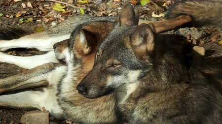 European gray wolves (Canis lupus lupus) lie and rest. Pack of wolves. Stok Video