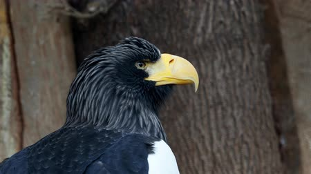 Stellers sea eagle - Haliaeetus pelagicus Stok Video