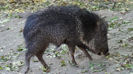 копытный : Chacoan peccary (Catagonus wagneri) eats leaves Стоковые видеозаписи