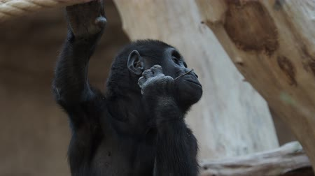 Cute western gorilla baby. (Gorilla gorilla). Endangered animal Stok Video