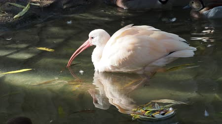 brodění : Young Scarlet ibis (Eudocimus ruber) in the water