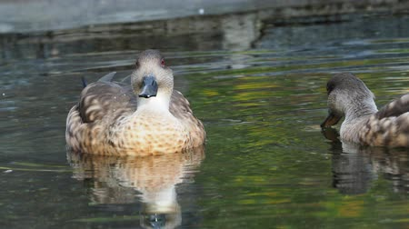 Female duck swimming on water. Stok Video