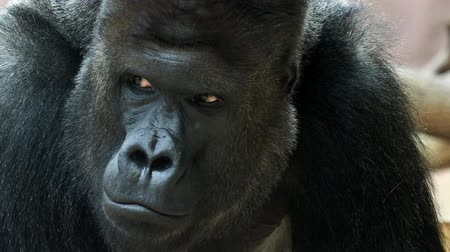 srebro : Portrait of male Gorilla, Silver backed Male Gorilla. The gorilla looks into the camera.