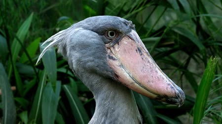 A shoebill (Balaeniceps rex) stork standing surrounded by plants. Stok Video