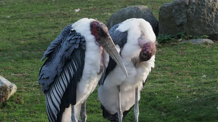 аист : Marabou Stork (Leptoptilos crumeniferus) is a large wading bird in the stork family Ciconiidae. Стоковые видеозаписи