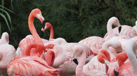 chilean flamingo : Group of Chilean Flamingos (Phoenicopterus chilensis)