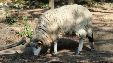Wallachian sheep (Ovis orientalis aries)