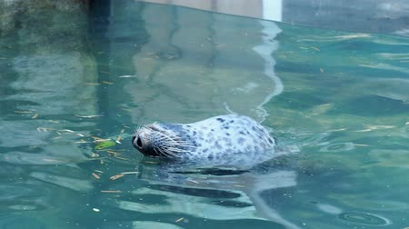 Harbor Seal (Phoca vitulina) with his head above blue water