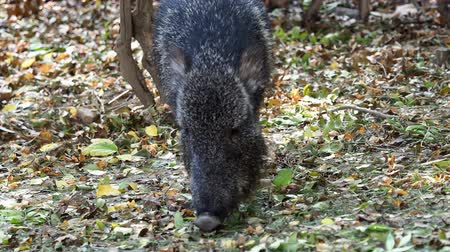 Chacoan peccary (Catagonus wagneri) eats leaves Stok Video
